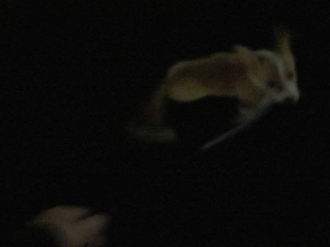 ウェルシュ・コーギー・ペンブロークこいぬ情報フントヒュッテウェルシュコーギーペンブローク子犬画像コーギーしっぽ付き尻尾付きしっぽつき断尾していないコーギー出産情報性格子犬の社会化コーギー家族募集中 Welsh Corgi Pembroke _ 1180.jpg