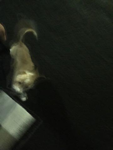 ウェルシュ・コーギー・ペンブロークこいぬ情報フントヒュッテウェルシュコーギーペンブローク子犬画像コーギーしっぽ付き尻尾付きしっぽつき断尾していないコーギー出産情報性格子犬の社会化コーギー家族募集中 Welsh Corgi Pembroke _ 1182.jpg