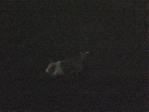 ウェルシュ・コーギー・ペンブロークこいぬ情報フントヒュッテウェルシュコーギーペンブローク子犬画像コーギーしっぽ付き尻尾付きしっぽつき断尾していないコーギー出産情報性格子犬の社会化コーギー家族募集中 Welsh Corgi Pembroke _ 1204.jpg