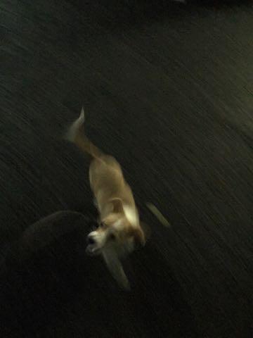 ウェルシュ・コーギー・ペンブロークこいぬ情報フントヒュッテウェルシュコーギーペンブローク子犬画像コーギーしっぽ付き尻尾付きしっぽつき断尾していないコーギー出産情報性格子犬の社会化コーギー家族募集中 Welsh Corgi Pembroke _ 1239.jpg