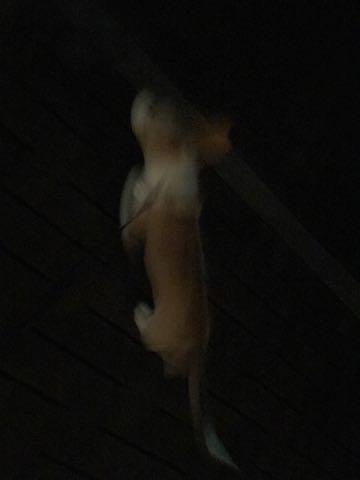 ウェルシュ・コーギー・ペンブロークこいぬ情報フントヒュッテウェルシュコーギーペンブローク子犬画像コーギーしっぽ付き尻尾付きしっぽつき断尾していないコーギー出産情報性格子犬の社会化コーギー家族募集中 Welsh Corgi Pembroke _ 1247.jpg
