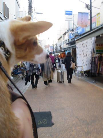 ウェルシュ・コーギー・ペンブロークこいぬ情報フントヒュッテウェルシュコーギーペンブローク子犬画像コーギーしっぽ付き尻尾付きしっぽつき断尾していないコーギー出産情報性格子犬の社会化コーギー家族募集中 Welsh Corgi Pembroke _ 1283.jpg