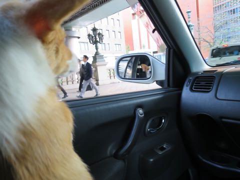 ウェルシュ・コーギー・ペンブロークこいぬ情報フントヒュッテウェルシュコーギーペンブローク子犬画像コーギーしっぽ付き尻尾付きしっぽつき断尾していないコーギー出産情報性格子犬の社会化コーギー家族募集中 Welsh Corgi Pembroke _ 1299.jpg