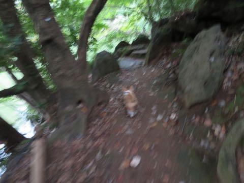 ウェルシュ・コーギー・ペンブロークこいぬ情報フントヒュッテウェルシュコーギーペンブローク子犬画像コーギーしっぽ付き尻尾付きしっぽつき断尾していないコーギー出産情報性格子犬の社会化コーギー家族募集中 Welsh Corgi Pembroke _ 1379.jpg