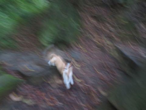 ウェルシュ・コーギー・ペンブロークこいぬ情報フントヒュッテウェルシュコーギーペンブローク子犬画像コーギーしっぽ付き尻尾付きしっぽつき断尾していないコーギー出産情報性格子犬の社会化コーギー家族募集中 Welsh Corgi Pembroke _ 1381.jpg