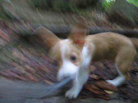 ウェルシュ・コーギー・ペンブロークこいぬ情報フントヒュッテウェルシュコーギーペンブローク子犬画像コーギーしっぽ付き尻尾付きしっぽつき断尾していないコーギー出産情報性格子犬の社会化コーギー家族募集中 Welsh Corgi Pembroke _ 1382.jpg