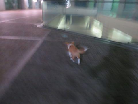 ウェルシュ・コーギー・ペンブロークこいぬ情報フントヒュッテウェルシュコーギーペンブローク子犬画像コーギーしっぽ付き尻尾付きしっぽつき断尾していないコーギー出産情報性格子犬の社会化コーギー家族募集中 Welsh Corgi Pembroke _ 1406.jpg