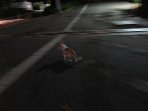 ウェルシュ・コーギー・ペンブロークこいぬ情報フントヒュッテウェルシュコーギーペンブローク子犬画像コーギーしっぽ付き尻尾付きしっぽつき断尾していないコーギー出産情報性格子犬の社会化コーギー家族募集中 Welsh Corgi Pembroke _ 1439.jpg