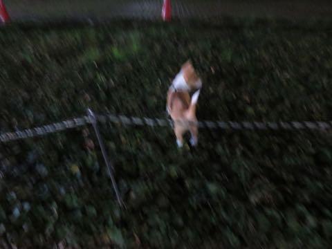 ウェルシュ・コーギー・ペンブロークこいぬ情報フントヒュッテウェルシュコーギーペンブローク子犬画像コーギーしっぽ付き尻尾付きしっぽつき断尾していないコーギー出産情報性格子犬の社会化コーギー家族募集中 Welsh Corgi Pembroke _ 1445.jpg