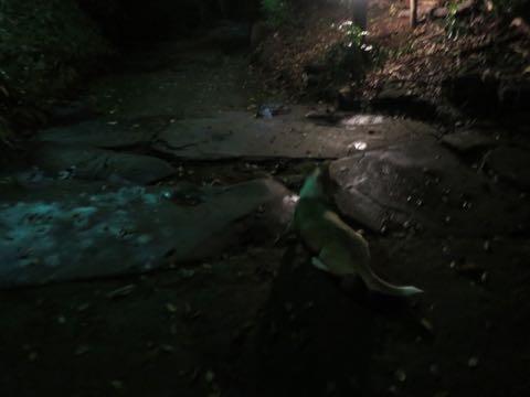 ウェルシュ・コーギー・ペンブロークこいぬ情報フントヒュッテウェルシュコーギーペンブローク子犬画像コーギーしっぽ付き尻尾付きしっぽつき断尾していないコーギー出産情報性格子犬の社会化コーギー家族募集中 Welsh Corgi Pembroke _ 1456.jpg