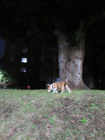 ウェルシュ・コーギー・ペンブロークこいぬ情報フントヒュッテウェルシュコーギーペンブローク子犬画像コーギーしっぽ付き尻尾付きしっぽつき断尾していないコーギー出産情報性格子犬の社会化コーギー家族募集中 Welsh Corgi Pembroke _ 1479.jpg