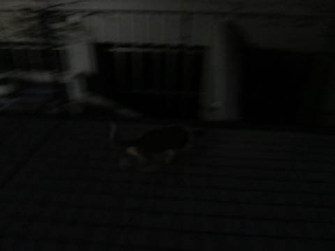 ウェルシュ・コーギー・ペンブロークこいぬ情報フントヒュッテウェルシュコーギーペンブローク子犬画像コーギーしっぽ付き尻尾付きしっぽつき断尾していないコーギー出産情報性格子犬の社会化コーギー家族募集中 Welsh Corgi Pembroke _ 1516.jpg