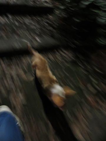 ウェルシュ・コーギー・ペンブロークこいぬ情報フントヒュッテウェルシュコーギーペンブローク子犬画像コーギーしっぽ付き尻尾付きしっぽつき断尾していないコーギー出産情報性格子犬の社会化コーギー家族募集中 Welsh Corgi Pembroke _ 1520.jpg
