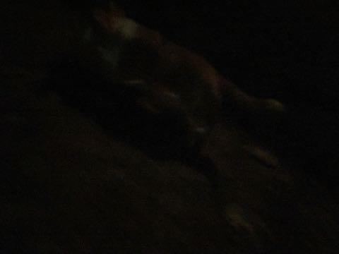ウェルシュ・コーギー・ペンブロークこいぬ情報フントヒュッテウェルシュコーギーペンブローク子犬画像コーギーしっぽ付き尻尾付きしっぽつき断尾していないコーギー出産情報性格子犬の社会化コーギー家族募集中 Welsh Corgi Pembroke _ 1532.jpg