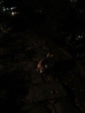 ウェルシュ・コーギー・ペンブロークこいぬ情報フントヒュッテウェルシュコーギーペンブローク子犬画像コーギーしっぽ付き尻尾付きしっぽつき断尾していないコーギー出産情報性格子犬の社会化コーギー家族募集中 Welsh Corgi Pembroke _ 1539.jpg