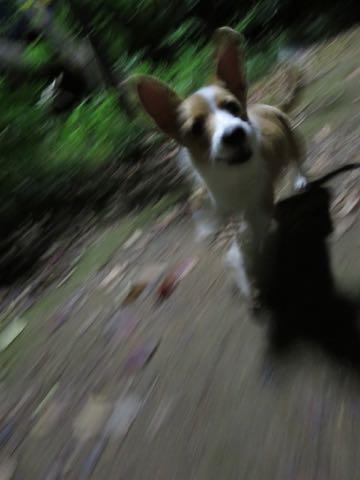 ウェルシュ・コーギー・ペンブロークこいぬ情報フントヒュッテウェルシュコーギーペンブローク子犬画像コーギーしっぽ付き尻尾付きしっぽつき断尾していないコーギー出産情報性格子犬の社会化コーギー家族募集中 Welsh Corgi Pembroke _ 1543.jpg