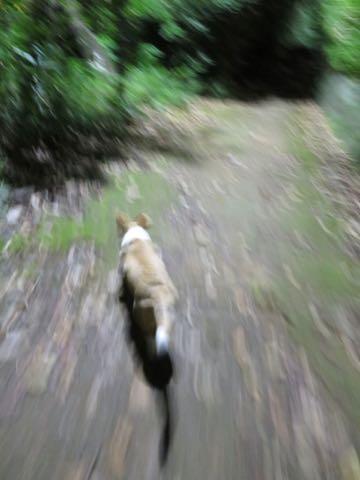 ウェルシュ・コーギー・ペンブロークこいぬ情報フントヒュッテウェルシュコーギーペンブローク子犬画像コーギーしっぽ付き尻尾付きしっぽつき断尾していないコーギー出産情報性格子犬の社会化コーギー家族募集中 Welsh Corgi Pembroke _ 1557.jpg