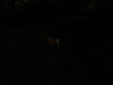 ウェルシュ・コーギー・ペンブロークこいぬ情報フントヒュッテウェルシュコーギーペンブローク子犬画像コーギーしっぽ付き尻尾付きしっぽつき断尾していないコーギー出産情報性格子犬の社会化コーギー家族募集中 Welsh Corgi Pembroke _ 1559.jpg