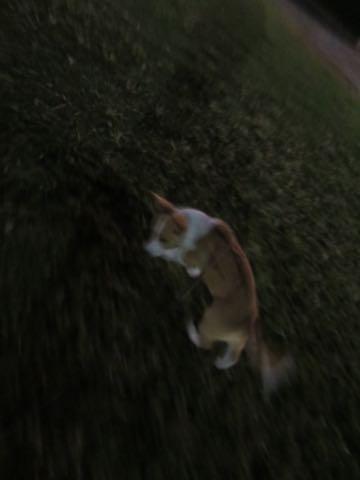 ウェルシュ・コーギー・ペンブロークこいぬ情報フントヒュッテウェルシュコーギーペンブローク子犬画像コーギーしっぽ付き尻尾付きしっぽつき断尾していないコーギー出産情報性格子犬の社会化コーギー家族募集中 Welsh Corgi Pembroke _ 1579.jpg