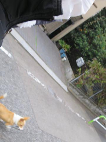 ウェルシュ・コーギー・ペンブロークこいぬ情報フントヒュッテウェルシュコーギーペンブローク子犬画像コーギーしっぽ付き尻尾付きしっぽつき断尾していないコーギー出産情報性格子犬の社会化コーギー家族募集中 Welsh Corgi Pembroke _ 1581.jpg