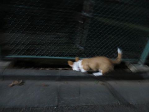 ウェルシュ・コーギー・ペンブロークこいぬ情報フントヒュッテウェルシュコーギーペンブローク子犬画像コーギーしっぽ付き尻尾付きしっぽつき断尾していないコーギー出産情報性格子犬の社会化コーギー家族募集中 Welsh Corgi Pembroke _ 1621.jpg