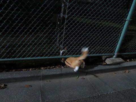 ウェルシュ・コーギー・ペンブロークこいぬ情報フントヒュッテウェルシュコーギーペンブローク子犬画像コーギーしっぽ付き尻尾付きしっぽつき断尾していないコーギー出産情報性格子犬の社会化コーギー家族募集中 Welsh Corgi Pembroke _ 1622.jpg