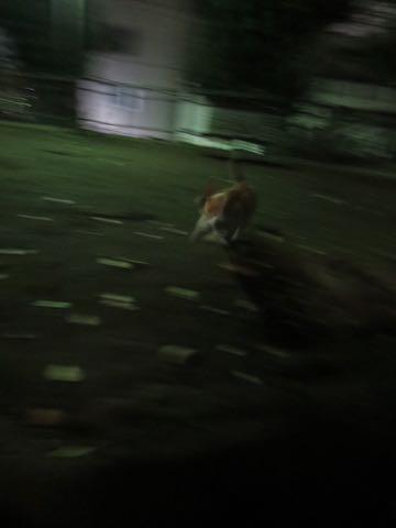 ウェルシュ・コーギー・ペンブロークこいぬ情報フントヒュッテウェルシュコーギーペンブローク子犬画像コーギーしっぽ付き尻尾付きしっぽつき断尾していないコーギー出産情報性格子犬の社会化コーギー家族募集中 Welsh Corgi Pembroke _ 1630.jpg