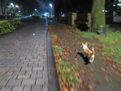 ウェルシュ・コーギー・ペンブロークこいぬ情報フントヒュッテウェルシュコーギーペンブローク子犬画像コーギーしっぽ付き尻尾付きしっぽつき断尾していないコーギー出産情報性格子犬の社会化コーギー家族募集中 Welsh Corgi Pembroke _ 1631.jpg