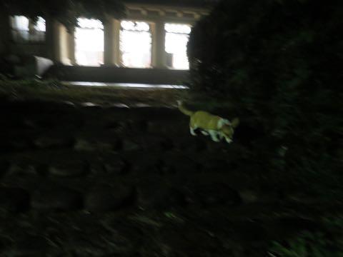 ウェルシュ・コーギー・ペンブロークこいぬ情報フントヒュッテウェルシュコーギーペンブローク子犬画像コーギーしっぽ付き尻尾付きしっぽつき断尾していないコーギー出産情報性格子犬の社会化コーギー家族募集中 Welsh Corgi Pembroke _ 1634.jpg