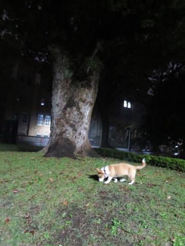 ウェルシュ・コーギー・ペンブロークこいぬ情報フントヒュッテウェルシュコーギーペンブローク子犬画像コーギーしっぽ付き尻尾付きしっぽつき断尾していないコーギー出産情報性格子犬の社会化コーギー家族募集中 Welsh Corgi Pembroke _ 1640.jpg