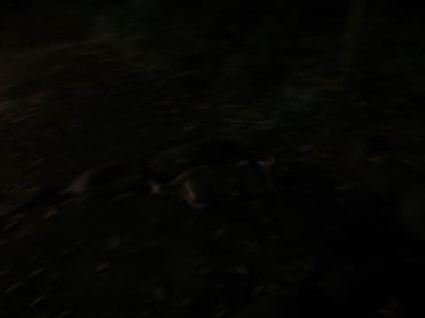 ウェルシュ・コーギー・ペンブロークこいぬ情報フントヒュッテウェルシュコーギーペンブローク子犬画像コーギーしっぽ付き尻尾付きしっぽつき断尾していないコーギー出産情報性格子犬の社会化コーギー家族募集中 Welsh Corgi Pembroke _ 1676.jpg