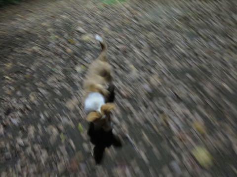 ウェルシュ・コーギー・ペンブロークこいぬ情報フントヒュッテウェルシュコーギーペンブローク子犬画像コーギーしっぽ付き尻尾付きしっぽつき断尾していないコーギー出産情報性格子犬の社会化コーギー家族募集中 Welsh Corgi Pembroke _ 1679.jpg