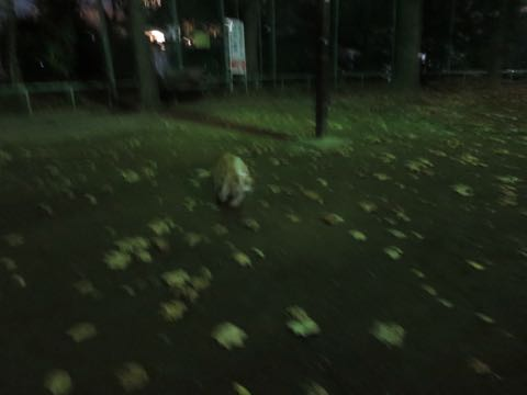 ウェルシュ・コーギー・ペンブロークこいぬ情報フントヒュッテウェルシュコーギーペンブローク子犬画像コーギーしっぽ付き尻尾付きしっぽつき断尾していないコーギー出産情報性格子犬の社会化コーギー家族募集中 Welsh Corgi Pembroke _ 1702.jpg