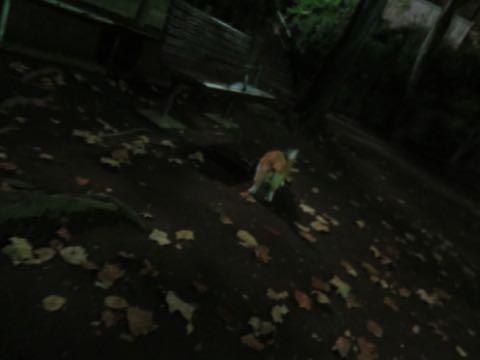ウェルシュ・コーギー・ペンブロークこいぬ情報フントヒュッテウェルシュコーギーペンブローク子犬画像コーギーしっぽ付き尻尾付きしっぽつき断尾していないコーギー出産情報性格子犬の社会化コーギー家族募集中 Welsh Corgi Pembroke _ 1705.jpg