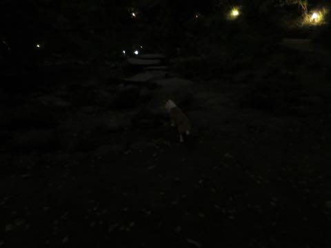 ウェルシュ・コーギー・ペンブロークこいぬ情報フントヒュッテウェルシュコーギーペンブローク子犬画像コーギーしっぽ付き尻尾付きしっぽつき断尾していないコーギー出産情報性格子犬の社会化コーギー家族募集中 Welsh Corgi Pembroke _ 1713.jpg