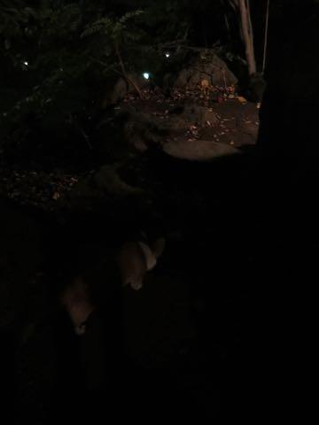 ウェルシュ・コーギー・ペンブロークこいぬ情報フントヒュッテウェルシュコーギーペンブローク子犬画像コーギーしっぽ付き尻尾付きしっぽつき断尾していないコーギー出産情報性格子犬の社会化コーギー家族募集中 Welsh Corgi Pembroke _ 1714.jpg