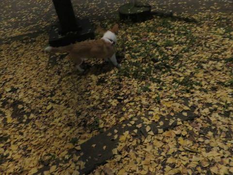 ウェルシュ・コーギー・ペンブロークこいぬ情報フントヒュッテウェルシュコーギーペンブローク子犬画像コーギーしっぽ付き尻尾付きしっぽつき断尾していないコーギー出産情報性格子犬の社会化コーギー家族募集中 Welsh Corgi Pembroke _ 1727.jpg