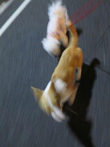 ウェルシュ・コーギー・ペンブロークこいぬ情報フントヒュッテウェルシュコーギーペンブローク子犬画像コーギーしっぽ付き尻尾付きしっぽつき断尾していないコーギー出産情報性格子犬の社会化コーギー家族募集中 Welsh Corgi Pembroke _ 1747.jpg