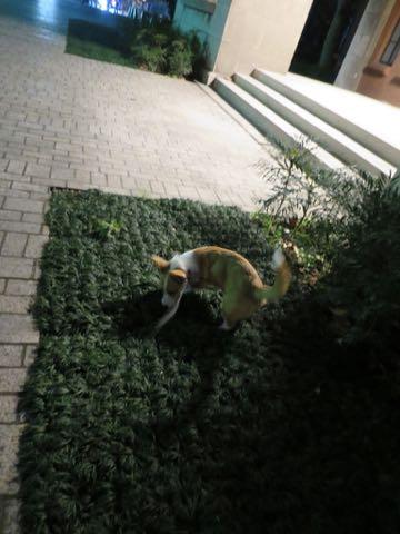 ウェルシュ・コーギー・ペンブロークこいぬ情報フントヒュッテウェルシュコーギーペンブローク子犬画像コーギーしっぽ付き尻尾付きしっぽつき断尾していないコーギー出産情報性格子犬の社会化コーギー家族募集中 Welsh Corgi Pembroke _ 1755b.jpg