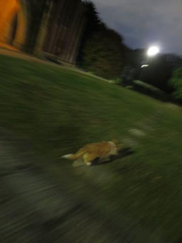 ウェルシュ・コーギー・ペンブロークこいぬ情報フントヒュッテウェルシュコーギーペンブローク子犬画像コーギーしっぽ付き尻尾付きしっぽつき断尾していないコーギー出産情報性格子犬の社会化コーギー家族募集中 Welsh Corgi Pembroke _ 1775.jpg