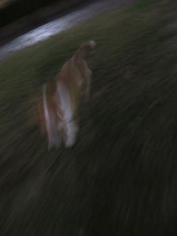 ウェルシュ・コーギー・ペンブロークこいぬ情報フントヒュッテウェルシュコーギーペンブローク子犬画像コーギーしっぽ付き尻尾付きしっぽつき断尾していないコーギー出産情報性格子犬の社会化コーギー家族募集中 Welsh Corgi Pembroke _ 1776.jpg