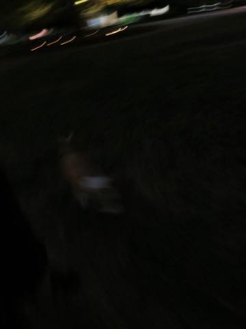 ウェルシュ・コーギー・ペンブロークこいぬ情報フントヒュッテウェルシュコーギーペンブローク子犬画像コーギーしっぽ付き尻尾付きしっぽつき断尾していないコーギー出産情報性格子犬の社会化コーギー家族募集中 Welsh Corgi Pembroke _ 1782.jpg