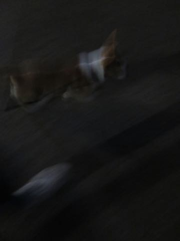 ウェルシュ・コーギー・ペンブロークこいぬ情報フントヒュッテウェルシュコーギーペンブローク子犬画像コーギーしっぽ付き尻尾付きしっぽつき断尾していないコーギー出産情報性格子犬の社会化コーギー家族募集中 Welsh Corgi Pembroke _ 1808.jpg