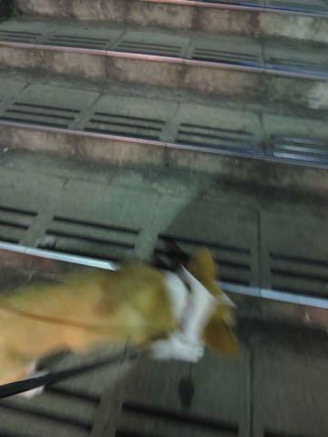 ウェルシュ・コーギー・ペンブロークこいぬ情報フントヒュッテウェルシュコーギーペンブローク子犬画像コーギーしっぽ付き尻尾付きしっぽつき断尾していないコーギー出産情報性格子犬の社会化コーギー家族募集中 Welsh Corgi Pembroke _ 1829.jpg