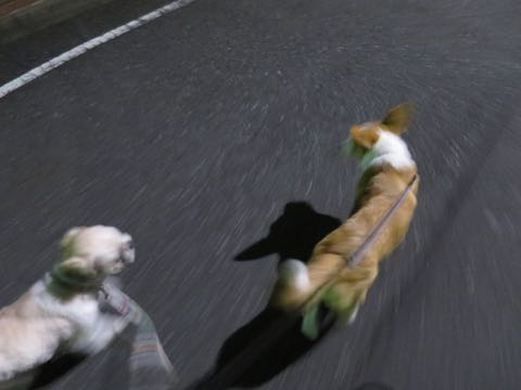ウェルシュ・コーギー・ペンブロークこいぬ情報フントヒュッテウェルシュコーギーペンブローク子犬画像コーギーしっぽ付き尻尾付きしっぽつき断尾していないコーギー出産情報性格子犬の社会化コーギー家族募集中 Welsh Corgi Pembroke _ 1912.jpg