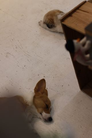ウェルシュ・コーギー・ペンブロークこいぬ情報フントヒュッテウェルシュコーギーペンブローク子犬画像コーギーしっぽ付き尻尾付きしっぽつき断尾していないコーギー出産情報性格子犬の社会化コーギー家族募集中 Welsh Corgi Pembroke _ 1926.jpg