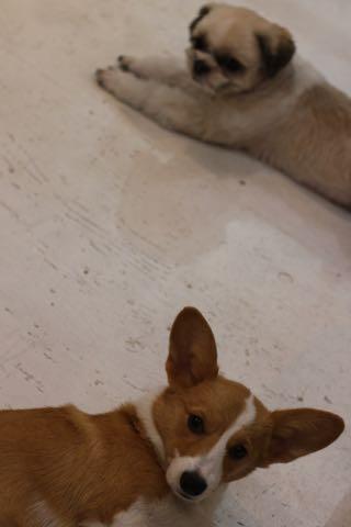 ウェルシュ・コーギー・ペンブロークこいぬ情報フントヒュッテウェルシュコーギーペンブローク子犬画像コーギーしっぽ付き尻尾付きしっぽつき断尾していないコーギー出産情報性格子犬の社会化コーギー家族募集中 Welsh Corgi Pembroke _ 1928.jpg