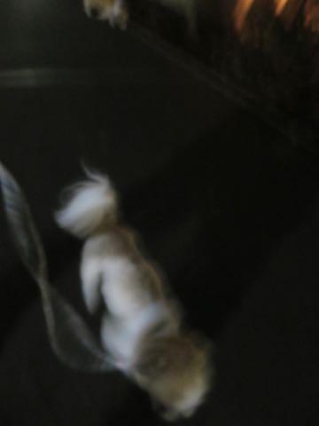 ウェルシュ・コーギー・ペンブロークこいぬ情報フントヒュッテウェルシュコーギーペンブローク子犬画像コーギーしっぽ付き尻尾付きしっぽつき断尾していないコーギー出産情報性格子犬の社会化コーギー家族募集中 Welsh Corgi Pembroke _ 1974.jpg
