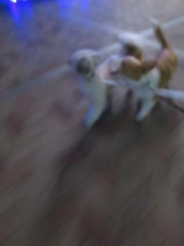 ウェルシュ・コーギー・ペンブロークこいぬ情報フントヒュッテウェルシュコーギーペンブローク子犬画像コーギーしっぽ付き尻尾付きしっぽつき断尾していないコーギー出産情報性格子犬の社会化コーギー家族募集中 Welsh Corgi Pembroke _ 1978.jpg