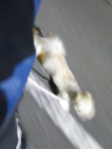 ウェルシュ・コーギー・ペンブロークこいぬ情報フントヒュッテウェルシュコーギーペンブローク子犬画像コーギーしっぽ付き尻尾付きしっぽつき断尾していないコーギー出産情報性格子犬の社会化コーギー家族募集中 Welsh Corgi Pembroke _ 2050.jpg
